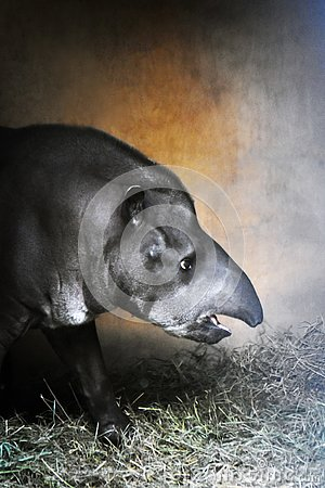 Free Tapir Profile Color Portrait Taken At Zoo. Stock Image - 133562811