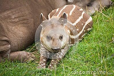 Tapir sudamericano
