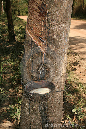 Free Tapping Rubber Tree Stock Images - 13649594