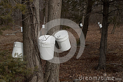 Tapping trees for maple syrup