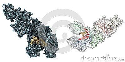Taq Polymerase molecule
