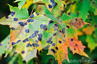 Tar spots on maple leaves