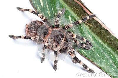 Tarantula Stock Photography - Image: 15044842