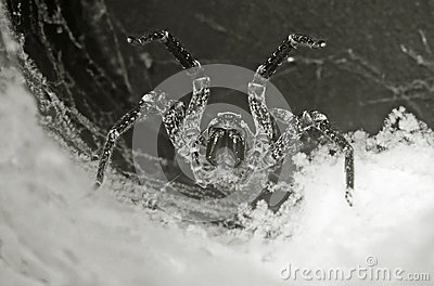 Tarantula in the hole