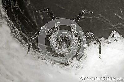 Tarantula in the hole