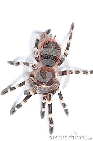 Tarantula isolated on white BG.