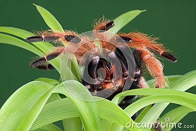 Tarantula on plant