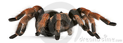 Tarantula spider, Brachypelma Boehmei