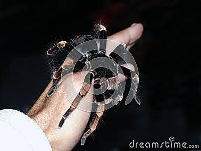 Tarantula spider on hand