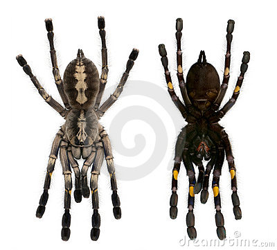 Tarantula spiders, Poecilotheria Metallica