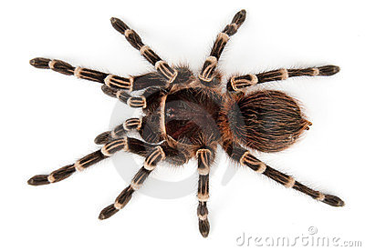 Tarantula top view