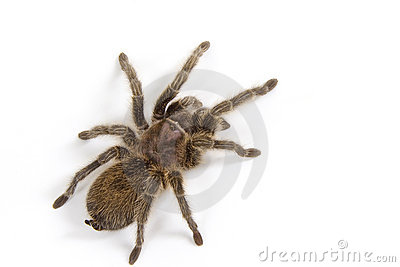 Tarantula On White Stock Photo