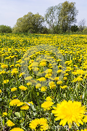 Free Taraxacum Officinale (common Dandelion, Dandelion) On The Meadow Stock Images - 53536444