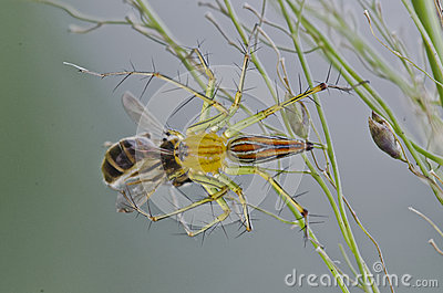 TARGET987_1_ pszczoły rysia pająk