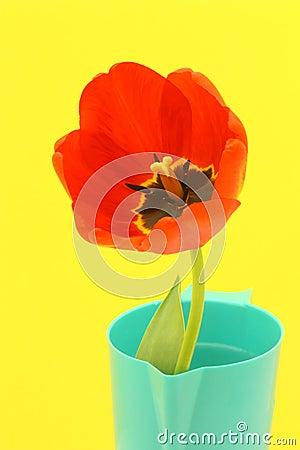 Tarjeta de felicitación de la flor con el tulipán rojo - foto común