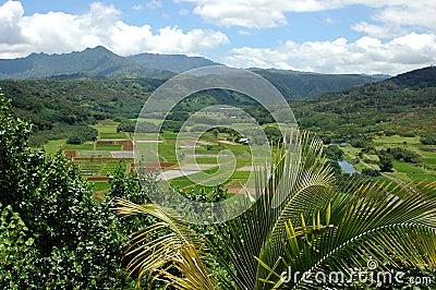 Taro Fields Of Kauai