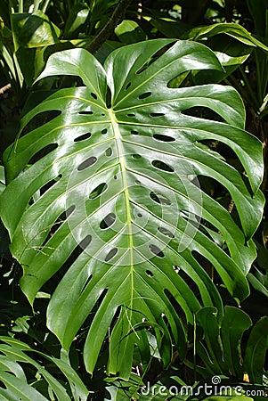 Free Taro Leaf Stock Photos - 4928053