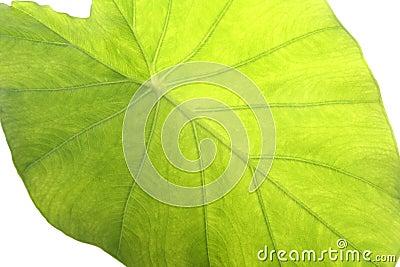 Taro leaf