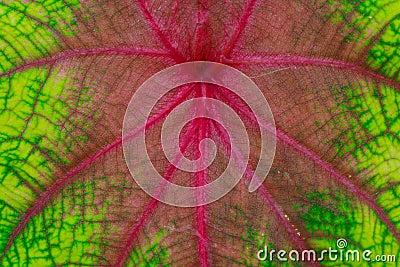 Taro leaf colored.