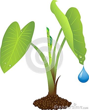Taro Plant Royalty Free Stock Photo Image 10766205