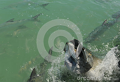 Tarpon fish jumping