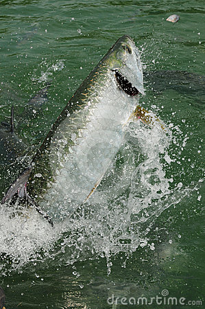 Tarpon fish jumping out of water