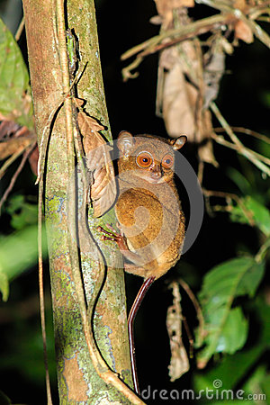 Free Tarsier In The Jungle Royalty Free Stock Photos - 42195608