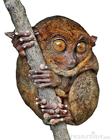 Tarsier Isolated