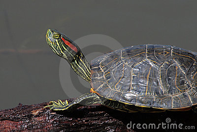 Tartaruga d 39 acqua dolce del cursore dell 39 rosso orecchio for Tartaruga acqua dolce razze