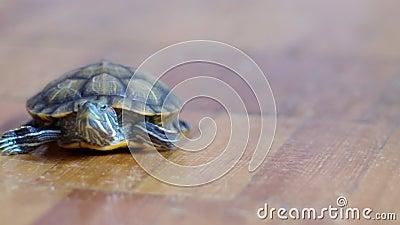 Tartaruga d 39 acqua dolce dello stagno slider tartaruga d for Stagno tartarughe