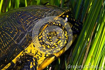 Tartaruga d 39 acqua dolce europea dello stagno orbicularis for Tartaruga acqua dolce razze