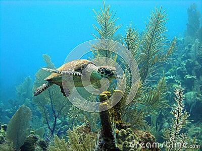 Tartaruga de mar pequena bonita