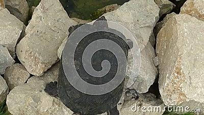 Tartaruga de Redeared video estoque