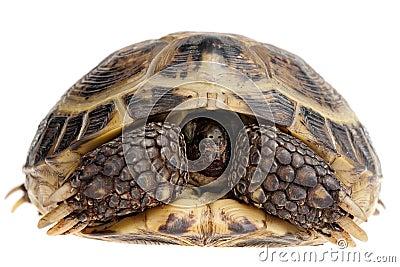 Tartaruga escondendo