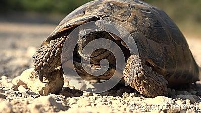 Tartaruga no ambiente natural, caminhando com uma tartaruga exótica na natureza, repicante fechando vídeos de arquivo
