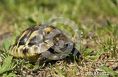Tartaruga pequena
