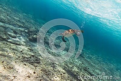 Tartaruga verde no mar do Cararibe