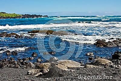 Tartarugas de mar verde na praia preta da areia