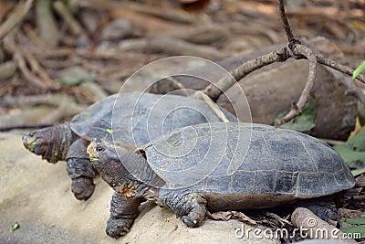 Tartarughe asiatiche giganti dello stagno fotografia stock for Stagno per tartarughe