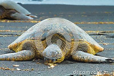 Tartarughe di mare verde fotografia stock immagine 64578522 for Tartarughe di mare domestiche