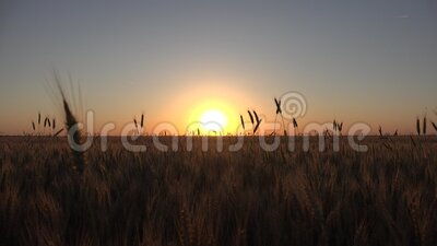 Tarwe in Agriculture Field, Oar in Sunset, Agricultural View Grains Industry, Granals Crop stock videobeelden