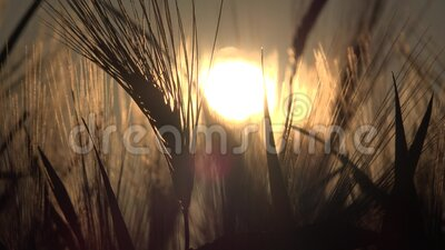 Tarwe in Agriculture Field, Oar in Sunset, Agricultural View Grains Industry, Granals Crop stock footage
