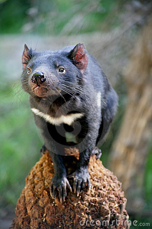 Free Tasmanian Devil Royalty Free Stock Images - 4117509