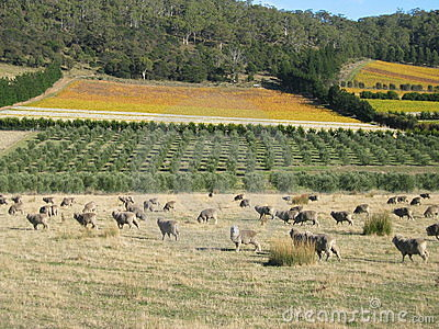 Tasmanian sheep
