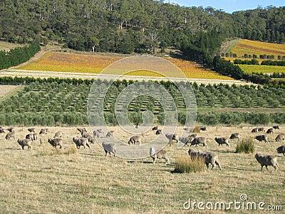 Tasmanian sheep