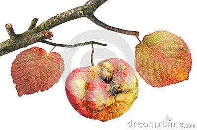 Tasteless curve apple on a branch