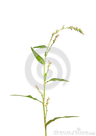 Tasteless water-pepper (Persicaria dubia)