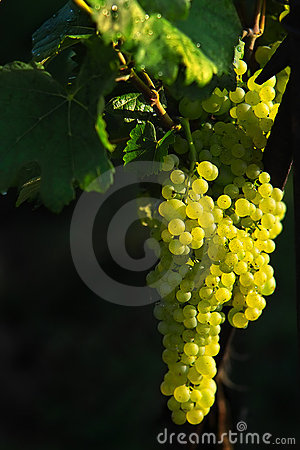 Tasty grapes on the black