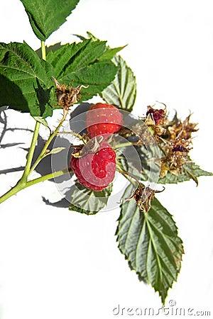 Tasty raspberry