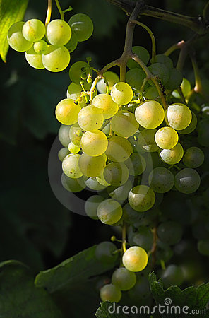 Tasty wine grapes in sunlight